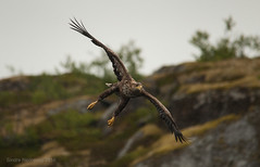 Aiming for the fish ! (SindreAHN Photography) Tags: sea eagle whitetailedeagle whitetailed eagles birdofprey birdsofprey bird birds legs claw claws arctic animal animals norway lofoten nikon sigma 150500mm sindreahn bokeh rain weather cloudy charterbt boat ocean front look eye contact aiming for fish