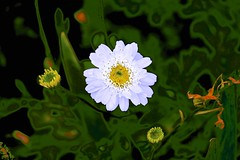 Delightful Daisy! (maginoz1) Tags: abstract art flowerpower winter july 2016 surreal curves luminosity alisterclarkmemorialrosegarden bulla melbourne victoria australia canon g3x daisy