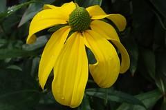 Sonnenhut (Gartenzauber) Tags: thebestofmimamorsgroups mixofflowers mimamorflowers panoramafotográfico macroelsalvador flowerarebeautiful theoriginalgoldseal greatshotss nature'splus contactgroups