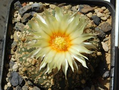 Astrophytum asterias hybrid (Resenter89) Tags: cactus piante grasse succulente cacti kakteen cactaceae astrophytum asterias flower yellow red mineral soil mix desert 10