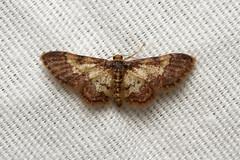 Geometridae (Moth sp.) - Costa Rica (Nick Dean1) Tags: geometridae lepidoptera moth animalia arthropoda arthropod hexapoda hexapod insect insecta costarica guanacaste lakearenal canon7d canon macro