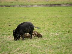 EE060044 - Boar II (Mytacism) Tags: olympus omd em1 50200 swd wild life eriksberg blekinge boar