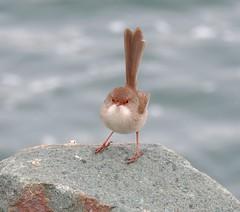 Malurus cyaneus 20 (barryaceae) Tags: tuncurry beach australian bird birds aves australianbirds ausbirds new south wales australia ausbird superb fairywren malurus cyaneus