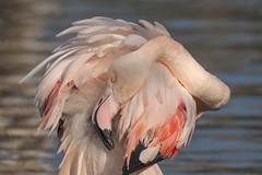 Flamingo - Blijdorp (Jan de Neijs Photography) Tags: rotterdam flamingo rozeflamingo dierentuin zoo blijdorp tamron tamron150600 diergaardeblijdorp rotterdamsediergaarde nederland holland thenetherlands dieniederlande nl