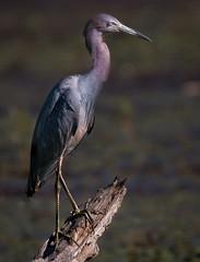 Little Blue Heron, Baltimore County, MD (Blackrock23) Tags: heron littleblueheron maryland nikond500 nikon200500