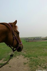 H-1 (NRJWphotography) Tags: horse quarterhorse dunhorse brownhorse equestrian
