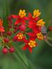 stinkbug (foxtail_1) Tags: hahnhorticulturegarden hahngardens hahngarden butterflyweed asclepiastuberosa stinkbug
