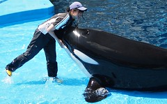 Lynn (EmilyOrca) Tags: orca aquarium cetacean marine mammal trainer training landing love light sunlight hug face stage interaction rub