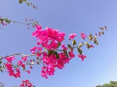 Contrast (PurpleTita) Tags: honor8 smartphone sicilia riesi italia sicily summer italy estate natura bouganvillea contrasto blu cielo rosa petali