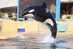 IMG_6856 (Bebelouga) Tags: orque marineland killerwhale orca