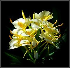 Natural Wonder (dimaruss34) Tags: newyork brooklyn dmitriyfomenko image flower gingerlily