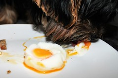 Flo Eating egg (@oakhamuk) Tags: flo yorkiepoo dog martinbrookes