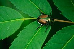 Japanese beetle (Michael Vermeer) Tags: iridescent japanesebeetle popilliajaponica