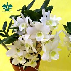 Dendrobium Angel Baby 'Love Pocket' #orchid #orchids #Orchidee #Orchideen #OrchIDEENgarten #orqudea #orqudeas #orchides #orchide #orchidej #orchideje #orkid #orkider #storczyki #storczyk #nature #naturelovers #iloveorchids #loveit #Blumen #colourful (orchideengartenkarge) Tags: orchid orchids orchideengarten flowers flower blume blumen orchideen flores orquideas orkideer