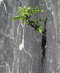 Wall Flower (maytag97) Tags: plant shrub wall concrete concretewall maytag97 shadow surviving hardy tough