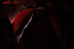 Jour 145 sur 366 (melanie photographies) Tags: projet366 photo picture photography feuille automne black blackbackground background red jeudelumire light nikon d5100 nikond5100 projet365 naturemorte macro
