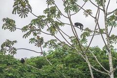Monkey Business (ruimc77) Tags: nikon d810 nikkor af 85mm f14d universidad earth university limn limon costa rica centro america amrica central centroamerica centroamrica animal fauna guacimo gucimo rainforest tour tur selva tropical mono macaco monkey tree arbol rbol arvore rvore