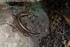Dark Bar-Sided Skink (J.P. Lawrence Photography) Tags: 2016 australia2016 spring2016 travel australia concinnia concinniamartini darkbarsidedskink eulamprus eulamprusmartini herp herpetology herps lacertilia lizard lizards queensland reptiles reptile reptilia sauria scincidae squamata skink springbrook springbrooknationalpark squamates vertebrates vertebrata vertebrate