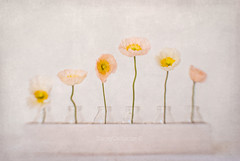 poppies (stacey catherine) Tags: poppies stilllife textures layers lensbaby composerpro sweet35 pink pastel pale simple inarow flowers botanical indoor