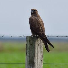Black Falcon (cembot66) Tags: blackfalcon bird wingedwildlife australianwildlife outdoor animal