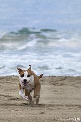 Shirka (Moments by Xag) Tags: dog carrera run correr race beach playa mar sea sand arena summer verano mascota pet perro americanstaffordshireterrier amstaff puppy cachorro momentsbyxag xag nikon d610 70200mm tamron ltytr1