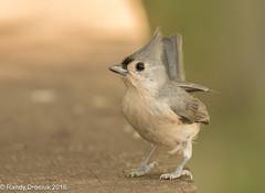 Ain't I cute? (rdroniuk) Tags: birds passerines smallbirds tuftedtitmouse baeolophusbicolor oiseaux passereaux mésangebicolore