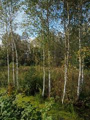 Herbst macht Fortschritte-bw_20161007_070092.jpg (Barbara Walzer) Tags: 071016 blätter bunt bäume farbe herbst natur wald blã¤tter bã¤ume