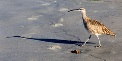 Shadow (GavinZ) Tags: california sandiego tourmaline usa beach morning pacificbeach bird shadow animal