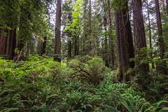 Prairie Creek Redwoods 4 (ssiegel16) Tags: prairiecreek redwoods