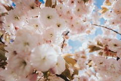 The bokeh of the Batis 18mm 2.8 (Chris Kreymborg) Tags: nature flower cherryblossom pink blue sony a7ii zeiss batis 18mm bokeh dof depthoffield creamy film stuttgart germany deutschland batis2818