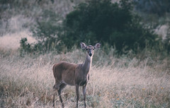 Whitetail Doe (Chris Mourra) Tags: doe animal wildlife nature outdoors animals canon canon6d 6d explore texas southtexas ranch farm whitetail summer fall trees deer