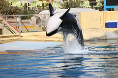 IMG_6852 (Bebelouga) Tags: orque marineland killerwhale orca