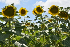 Tournesols lgrement fanns (Flikkersteph -4,000,000 views ,thank you!) Tags: rural landscape nature summer beautiful plantation sunflowers countryside fields clearsky champagneetfontaine prigord france