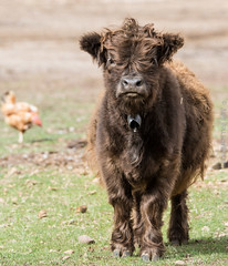 tiny cow (cuddleupcrafts) Tags: tiny cow farm shaggy little baby snout brown