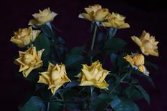 DSC_3185 (PeaTJay) Tags: nikond750 reading lowerearley berkshire macro micro closeups gardens indoors nature flora fauna plants flowers rose roses rosebuds