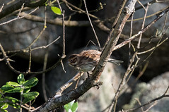 Little Bunting (angus molyneux) Tags: scilly littlebunting stagnes