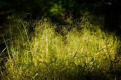 weeds (N.sino) Tags: m9 summilux50mm weed