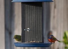 Painted Bunting Pair returns (JohnD Photoz) Tags: paintedbunting birdfeeder migratorybirds