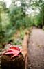 Fall (Georgie_grrl) Tags: wwpw worldwidephotowalk2016 topwwwpw2016 photowalk torontophotowalks photographers friends social scottkelbyphotowalk toronto ontario pentaxk1000 rikenon12828mm fall autumn leaf maple red bs akablurryshit fence trail woods path