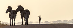 Zebra crossing (Explored) (Sheldrickfalls) Tags: sunrise southafrica zebra impala krugern