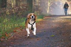 Im Wald 04 (hohash) Tags: beagle jagdhund mansfelderland