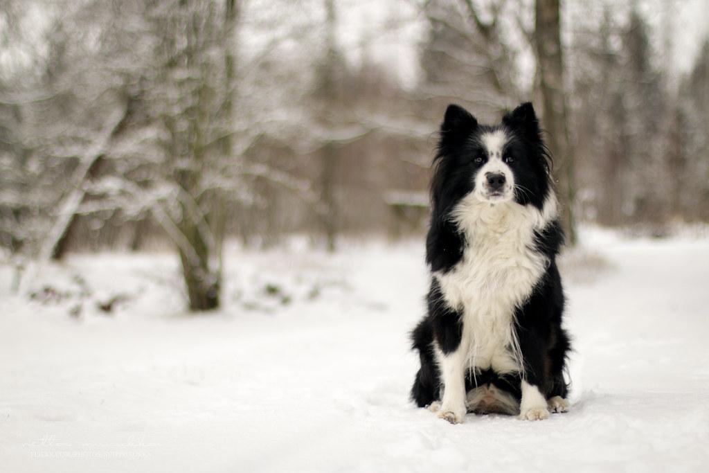 the world u0026 39 s best photos of suomenlapinkoira and winter