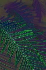 """Dark Echo""  DSC_5626 (kluehirschSnowpine) Tags: plants color green nature leaves contrast edited redwood needles dawnredwood chineseredwood neongarden natureasartist"