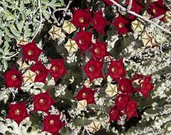 _Y1A0123 (ninara) Tags: kenya apocynaceae wildflower asclepiadaceae magadi asclepiads brachystelma
