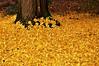 Golden carpet (G.hostbuster (Gigi)) Tags: autumn leaves foglie gingko gingkobiloba ghostbuster overtheexcellence gigi49