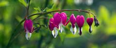 garland (Explore) (Sergey S Ponomarev) Tags: flowers summer flower macro nature colors canon colorful warm dof estate blossom russia blumen natura garland bloom colori 2014      600d 24105l sergeyponomarev