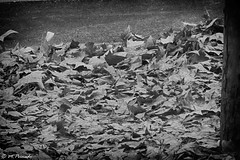 010499 - Torrejón de Ardoz (M.Peinado) Tags: parque blackandwhite bw españa byn blancoynegro spain sony otoño 2014 comunidaddemadrid torrejóndeardoz ccby sonydsch200 16122014 diciembrede2014 avenidadelosdescubrimientos parqueelsaucar