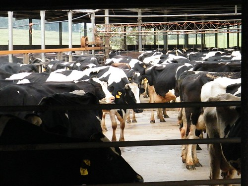 Dairy Cow Dairy