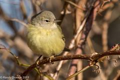 Warbler Mania #2 (rdroniuk) Tags: birds oiseaux smallbirds warblers orangecrownedwarbler passerines passereaux parulines parulineverdâtre leiothlypiscelata sedgewickforest