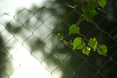 (Johanes Tarigan) Tags: nature fence ball leaf blurry pentax bokeh background grand prix sp if af tamron edition f28 xr ld gp aspherical 1750mm k10d pentaxk10d